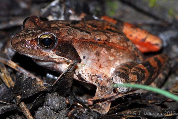 Italian Agile Frog - Rana latastei