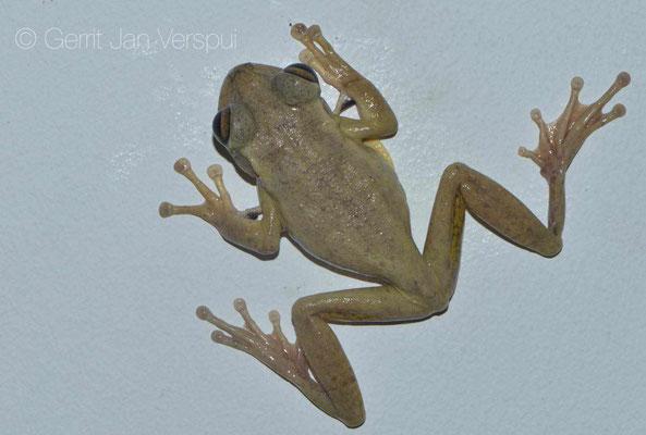 Cuban Treefrog - Osteopilus septentrionalis