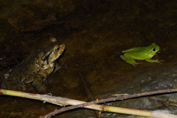 Common Toad - Bufo bufo & Stripeless Tree Frog - Hyla meridionalis    In Situ