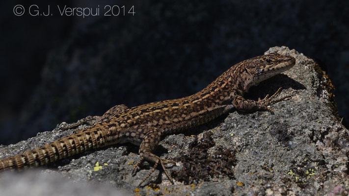 Iberian Wall Lizard - Podarcis guadarramae