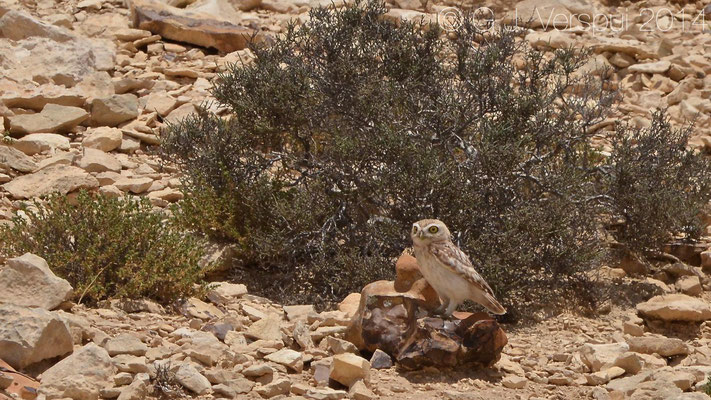 Little Owl - Athena noctua