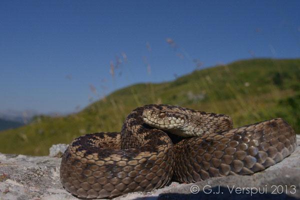 Meadow Viper - Vipera ursinii macrops   (1)