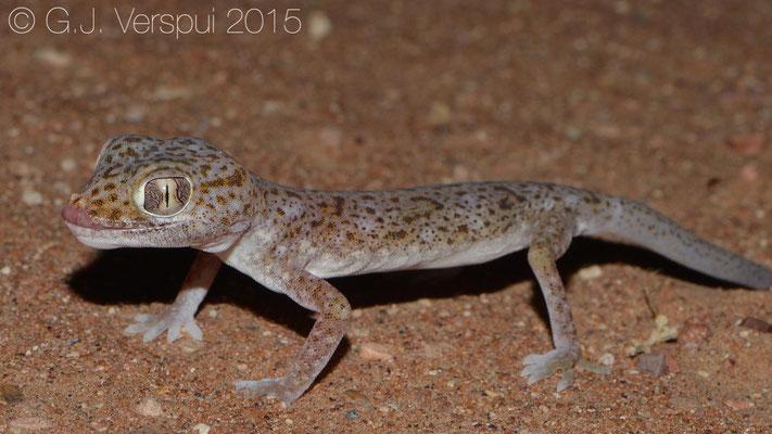 Stenodactylus leptocosymbotus