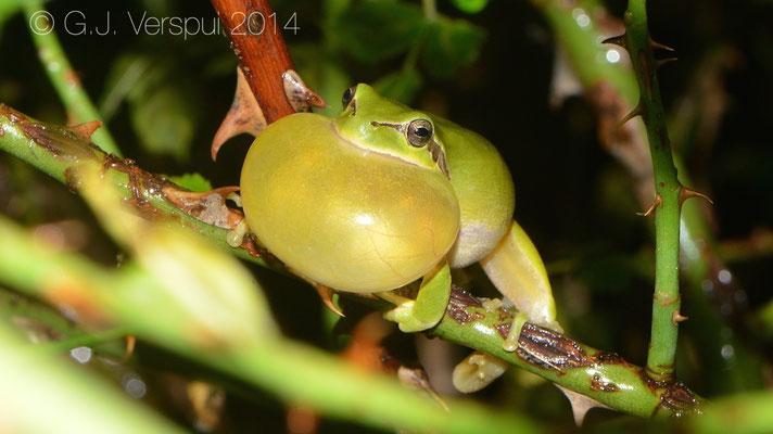 Stripeless Tree Frog - Hyla meridionalis, In Situ
