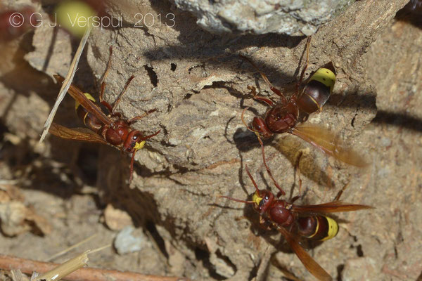 Oriental hornet - Vespa orientalis