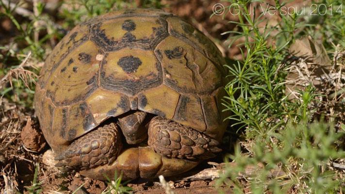 Spur-thighed Tortoise - Testudo graeca ibera, In Situ