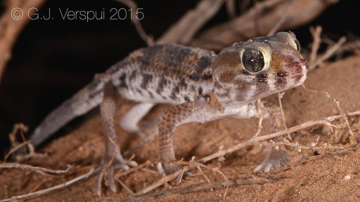 Teratoscincus keyserlingii, In Situ