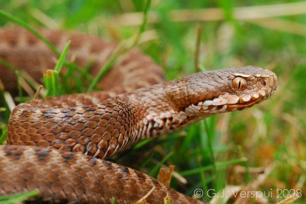 First Seoane's Viper - Vipera seoanei