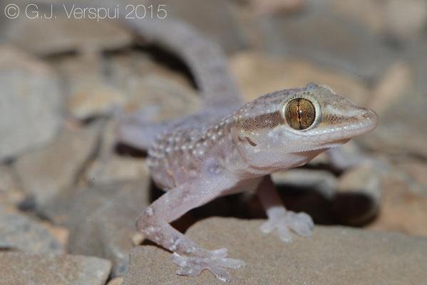 Hemidactylus hajarensis