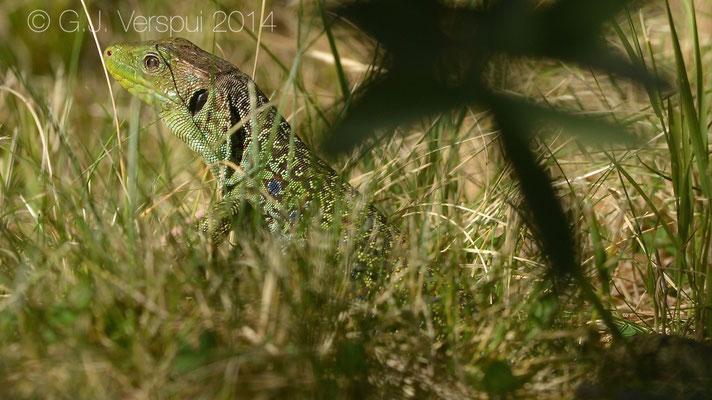 Ocellated Lizard - Timon lepidus lepidus