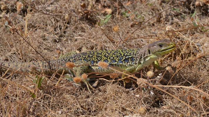 Ocellated Lizard - Timon lepidus lepidus, Not in situ
