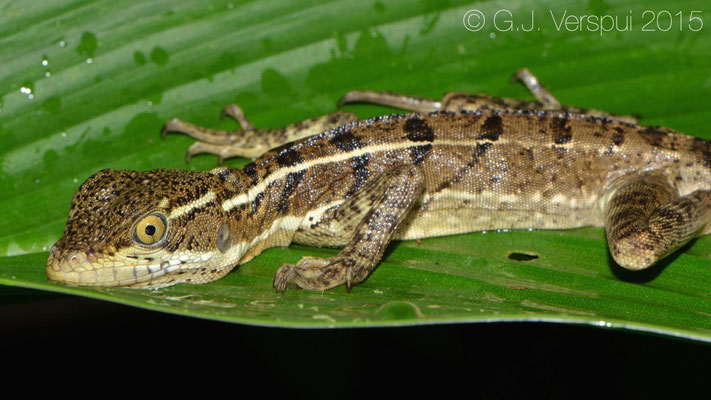 Basiliscus basiliscus, sorry for waking you up..