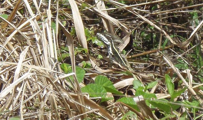 Basiliscus vittatus    In Situ