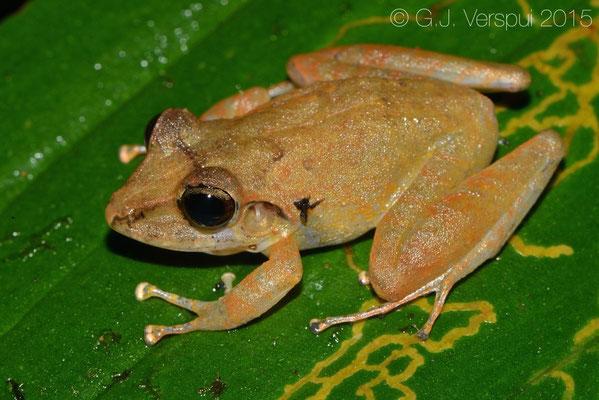 Craugaster crassidigitus