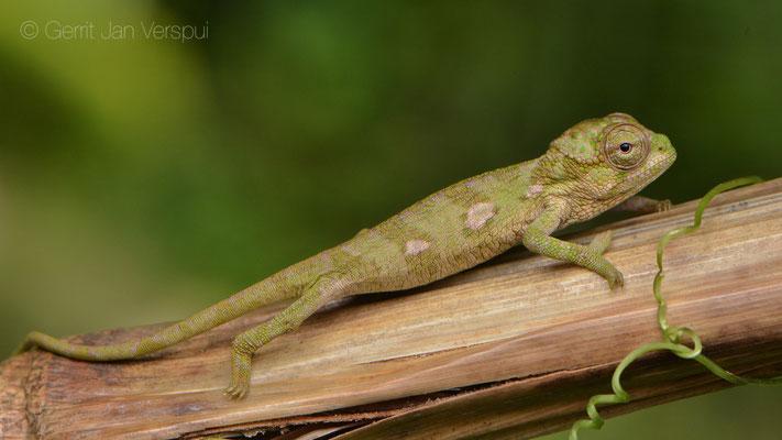 Juvenile Rwenzori Plate-nosed Chameleon - Kinyongia xenorhina