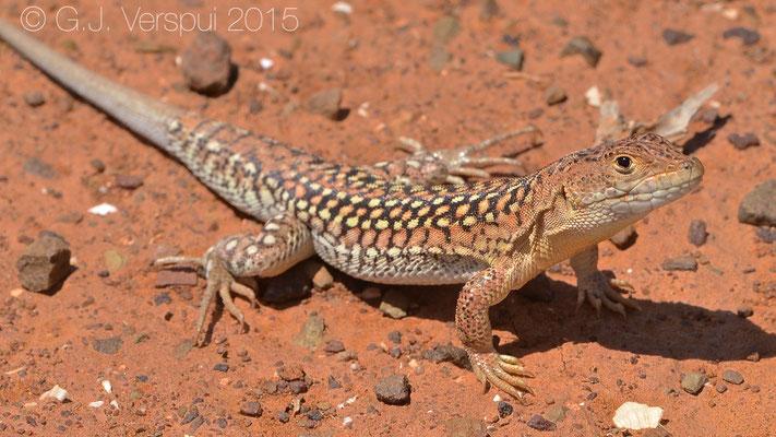 Acanthodactylus busacki, In Situ