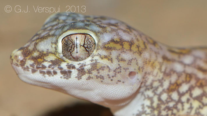 Middle Eastern Short-Fingered Gecko - Stenodactylus doriae