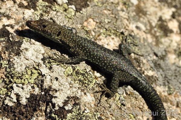 Bedriaga's Rock Lizard - Archaeolacerta bedriagae    In Situ