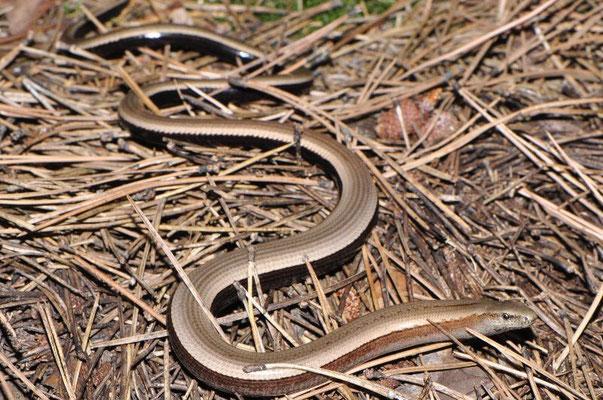 Peloponnese Slow Worm - Anguis cephallonica