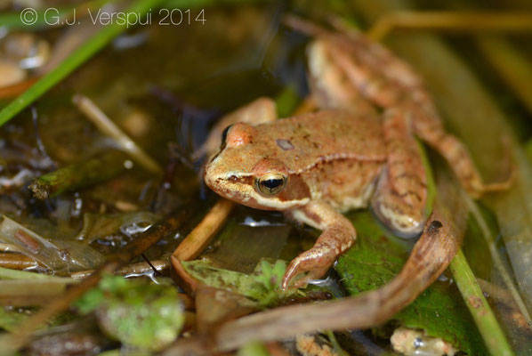 Iberian Stream Frog - Rana iberica, In Situ