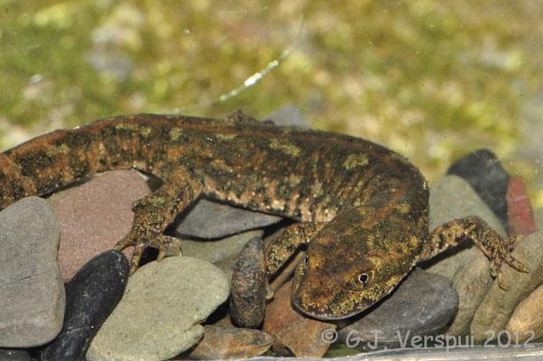 Sardinian Brook Newt - Euproctus platycephalus