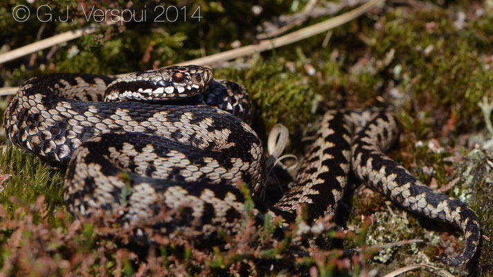 2nd Pretty Male Adder - Vipera berus