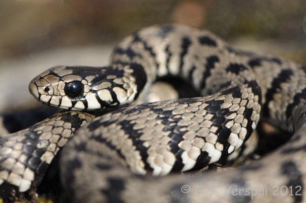Grass Snake - Natrix natrix corsa