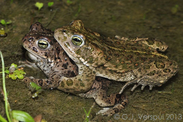 Natterjack Toads in amplexus - Epidalea Calamita   In Situ