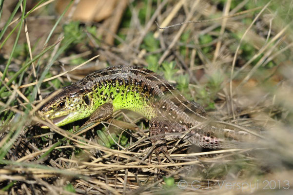 Sand Lizard - Lacerta agilis (male)