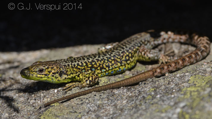 Iberian Rock Lizard - Iberolacerta monticola monticola