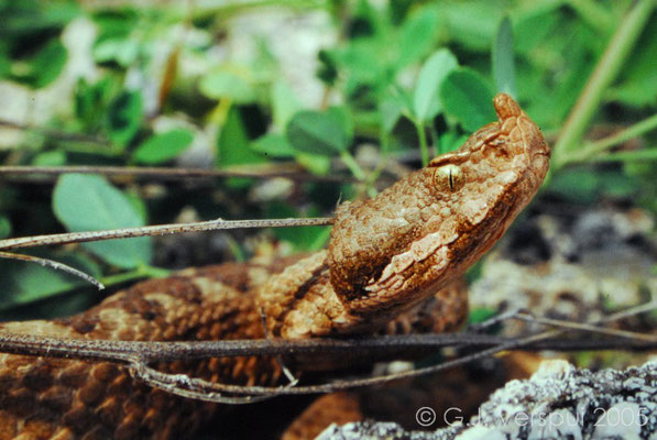 Nose-horned Viper - Vipera ammodytes