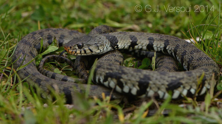 Grass Snake - Natrix natrix sicula