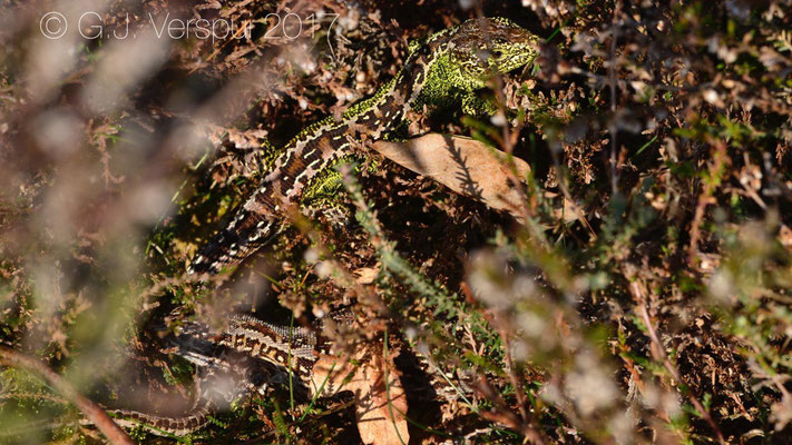 Male & Female Sand Lizards - Lacerta agilis, in situ