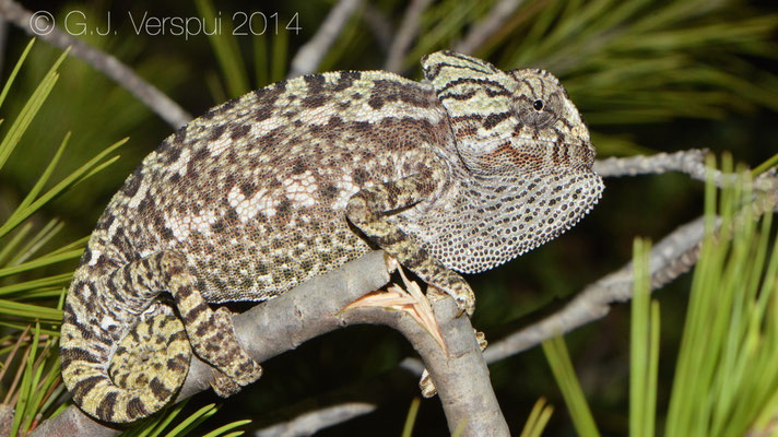 Mediterranean Chameleon - Chamaeleo chamaeleon, Not in situ