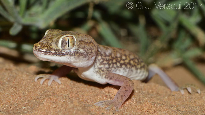 Anderson's Short-Fingered Gecko - Stenodactylus petrii