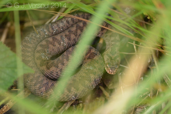 Adder - Vipera berus, In Situ