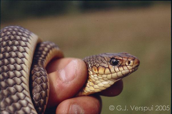 Caspian Whip Snake - Dolichophis caspius