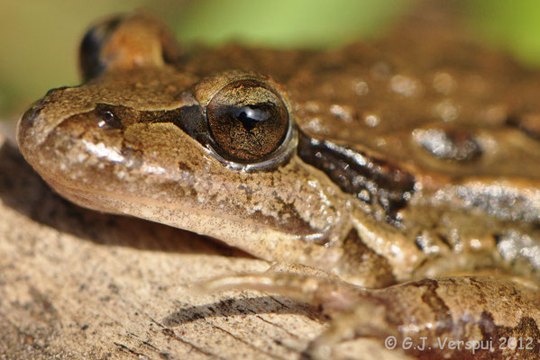 Iberian Painted Frog - Discoglossus galganoi