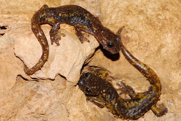 Italian Cave Salamander - Speleomantes italicus