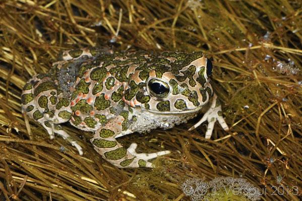 Green Toad - Bufo viridis   In Situ