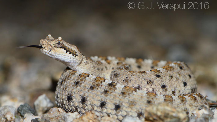 Juvenile Sidewinder (Crotalus cerastes)