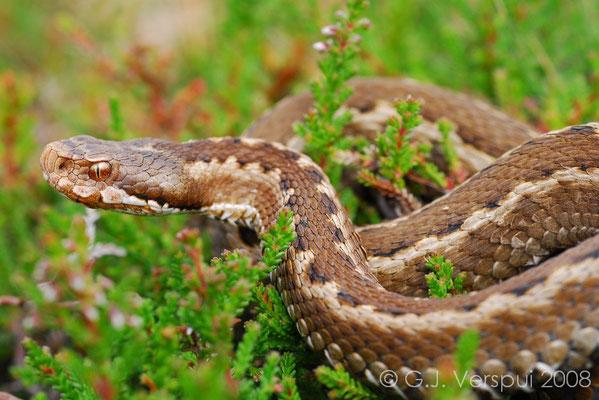 Seoane's Viper - Vipera seoanei