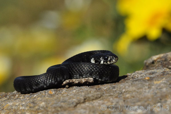 Grass Snake - Natrix natrix schweizeri