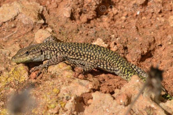Moroccan Rock Lizard - Scelarcis perspicillata