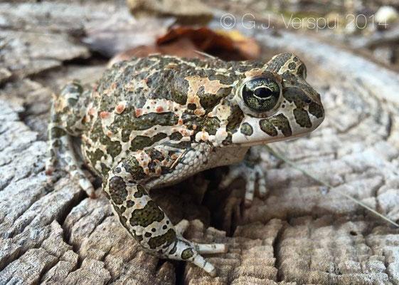 Green Toad - Bufotes viridis balearicus