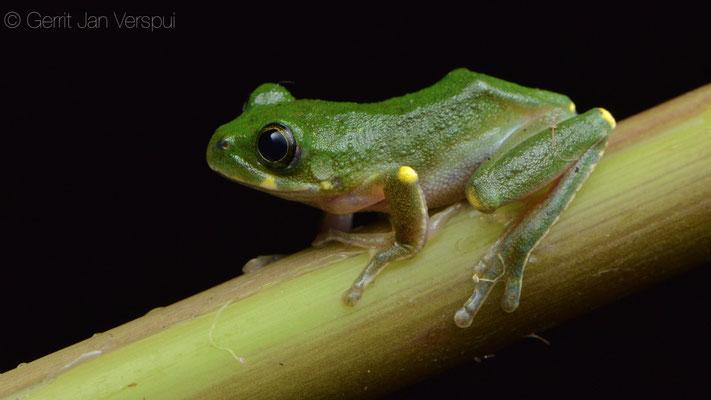 Kivu Tree Frog - Leptopelis kivuensis