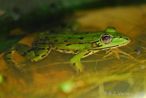 Edible Frog - Pelophylax kl. esculentus    In Situ