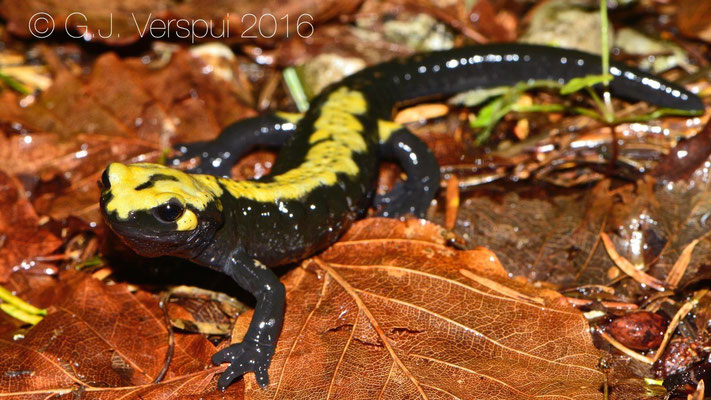 Third 'golden' Alpine Salamander - Salamandra atra aurorae