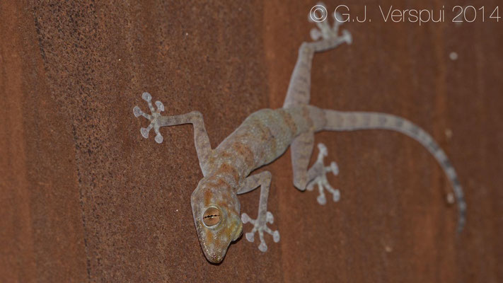 Yellow Fan-Fingered Gecko - Ptyodactylus hasselquistii, In Situ