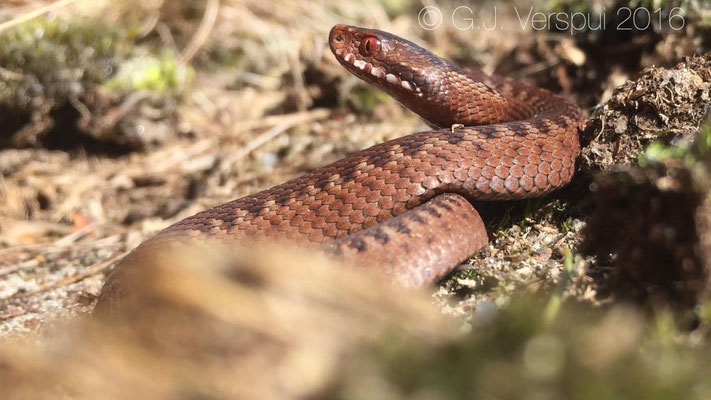 In Doorn, (The Netherlands) juvenile Adders were around again!